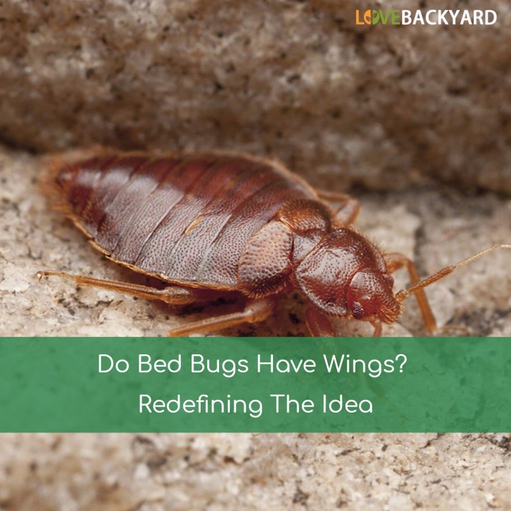 Black Bed Bugs With Wings
