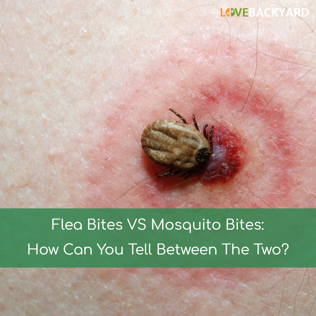 Flea Bites Compared To Bed Bug Bites