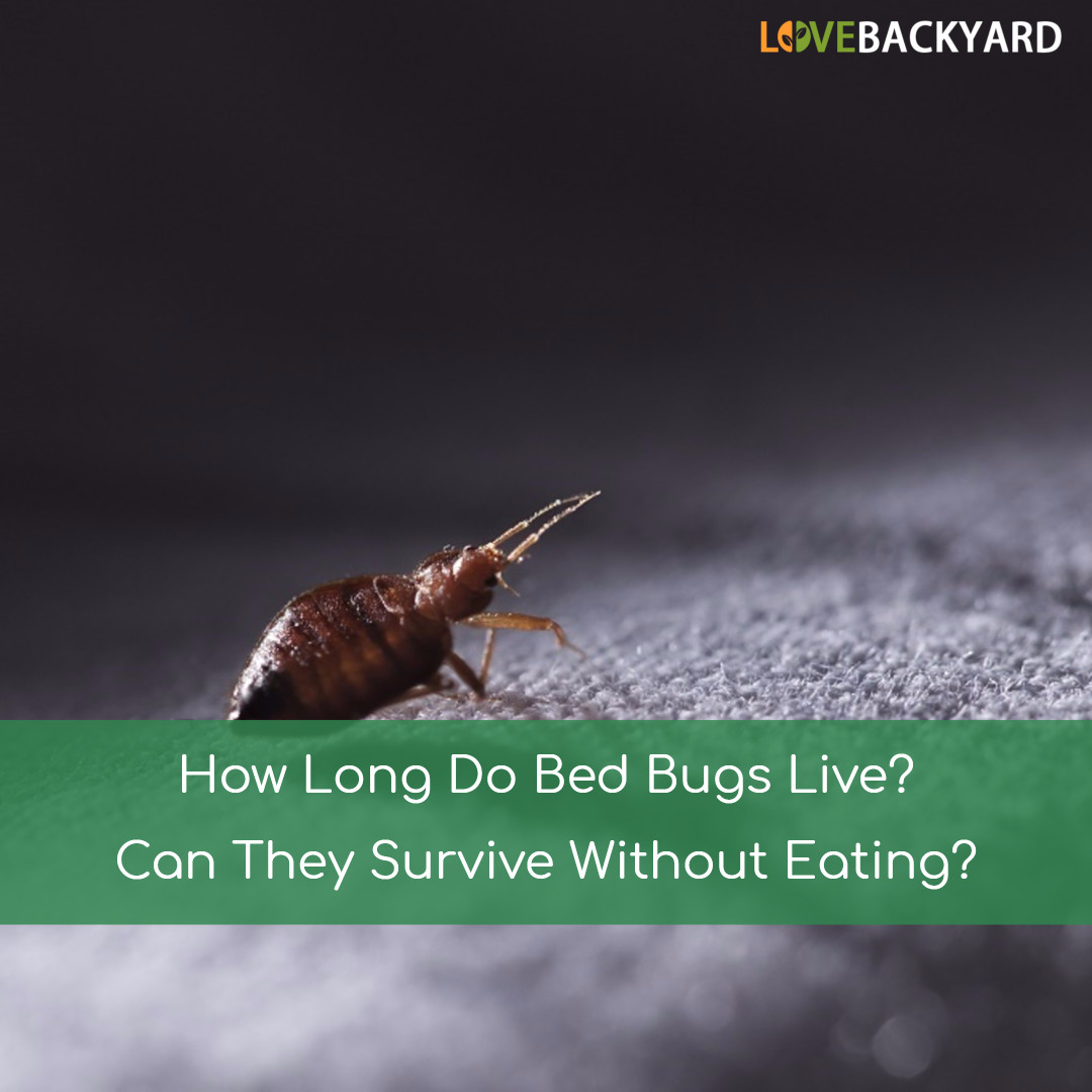 How Long Do Bed Bugs Live Can They Survive Without Eating Last