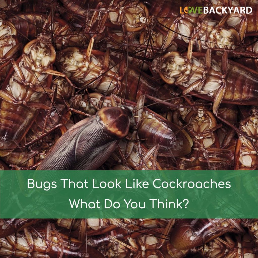 bugs that look like cockroaches