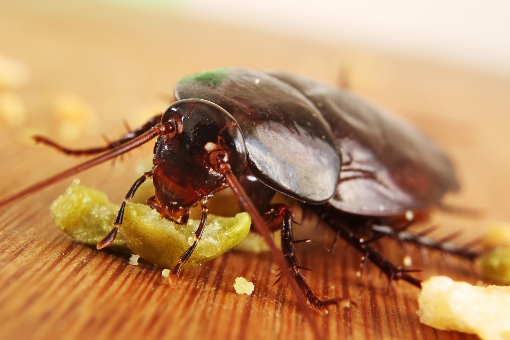 cockroach eating crumb