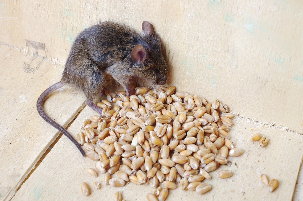 Homemade Rat Poison: #3 Is A Super