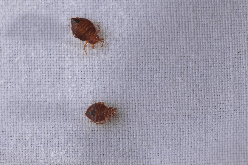 How Fast Can Bed Bugs Reproduce