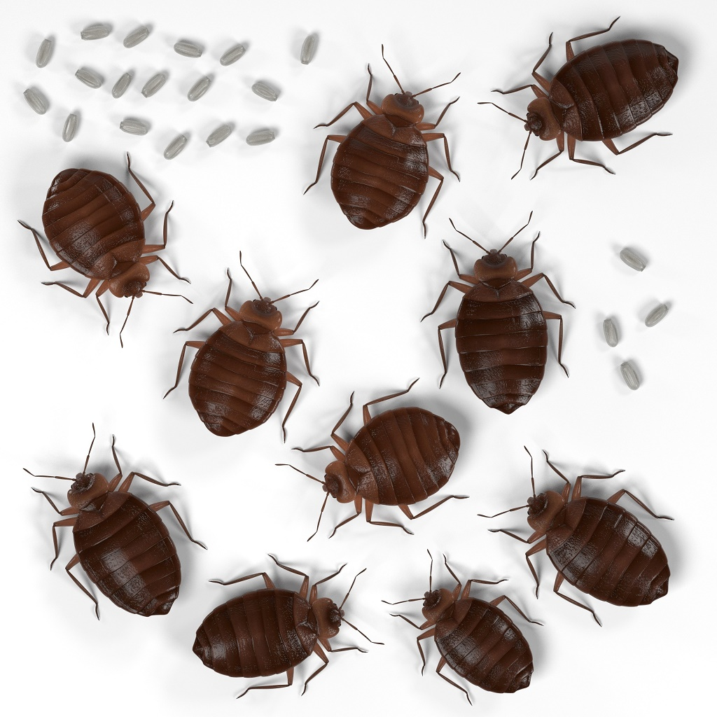 bed bug eggs