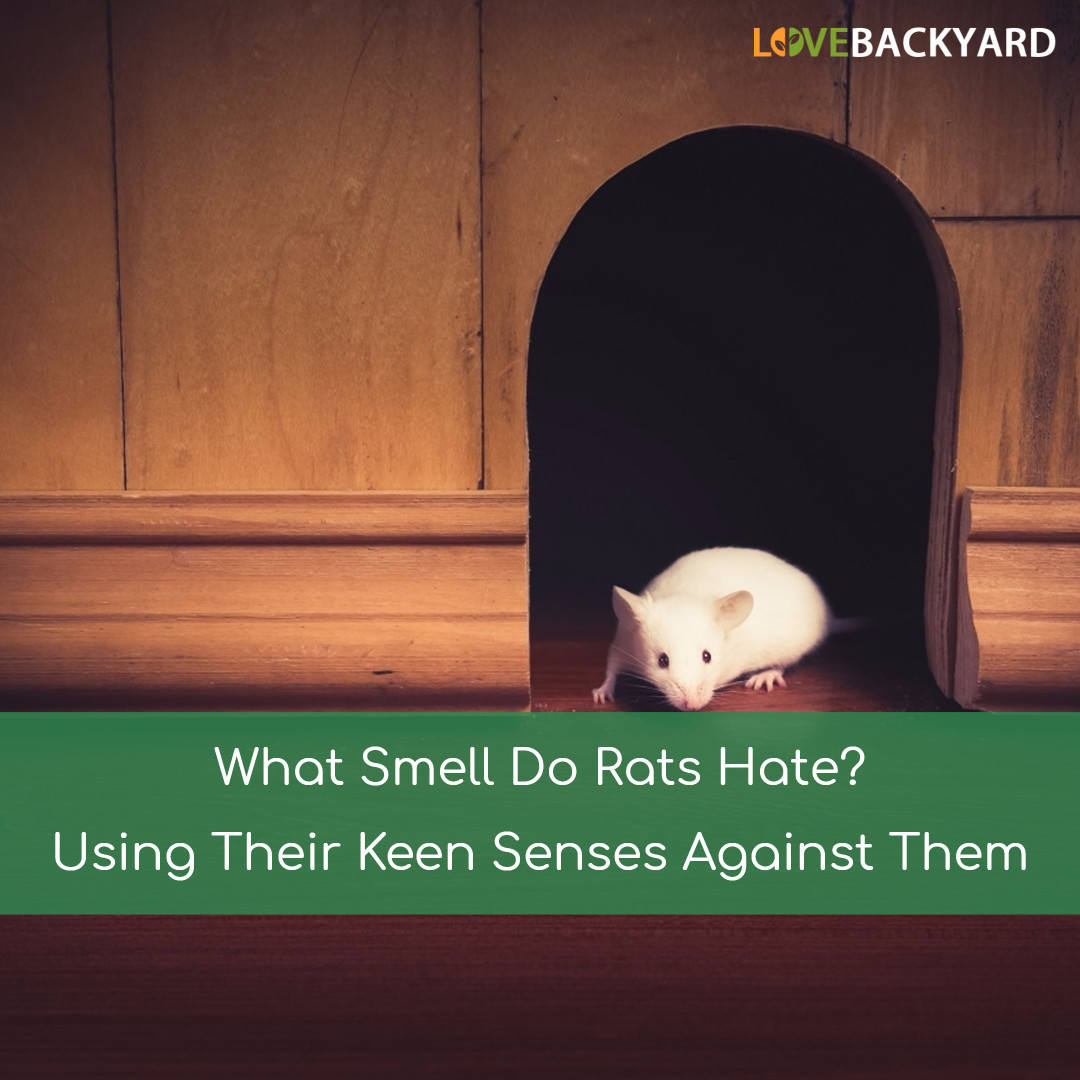 what smell do rats nov 2017 using their keen senses