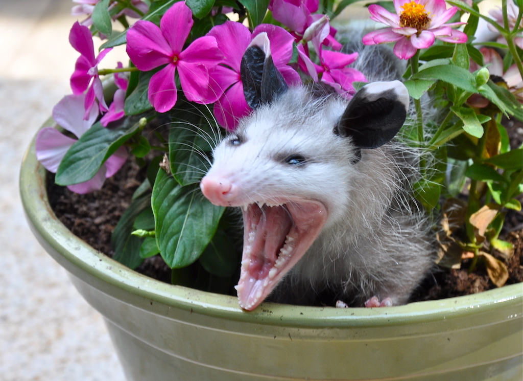 Angry possum in flower pot