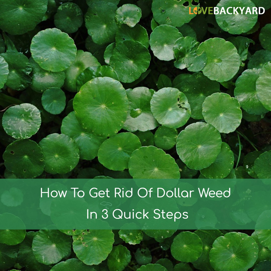 How To Get Rid Of Dollar Weeds In 3 Quick Steps Aug 2018
