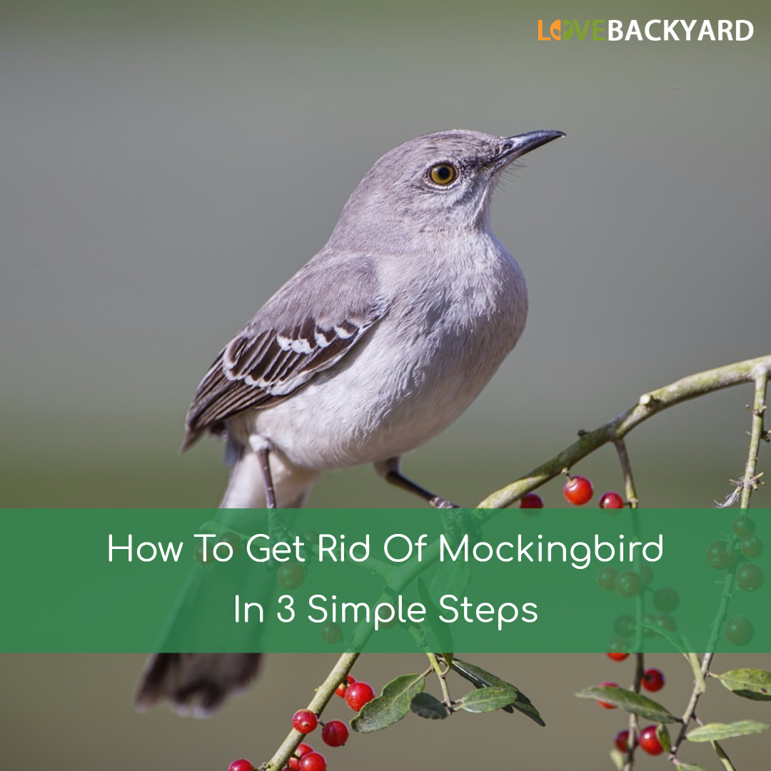how to get rid of mockingbirds in 3 simple steps nov 2017