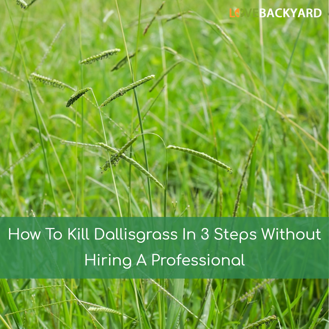 How To Kill Dallisgrass In 3 Steps Without Hiring A Professional