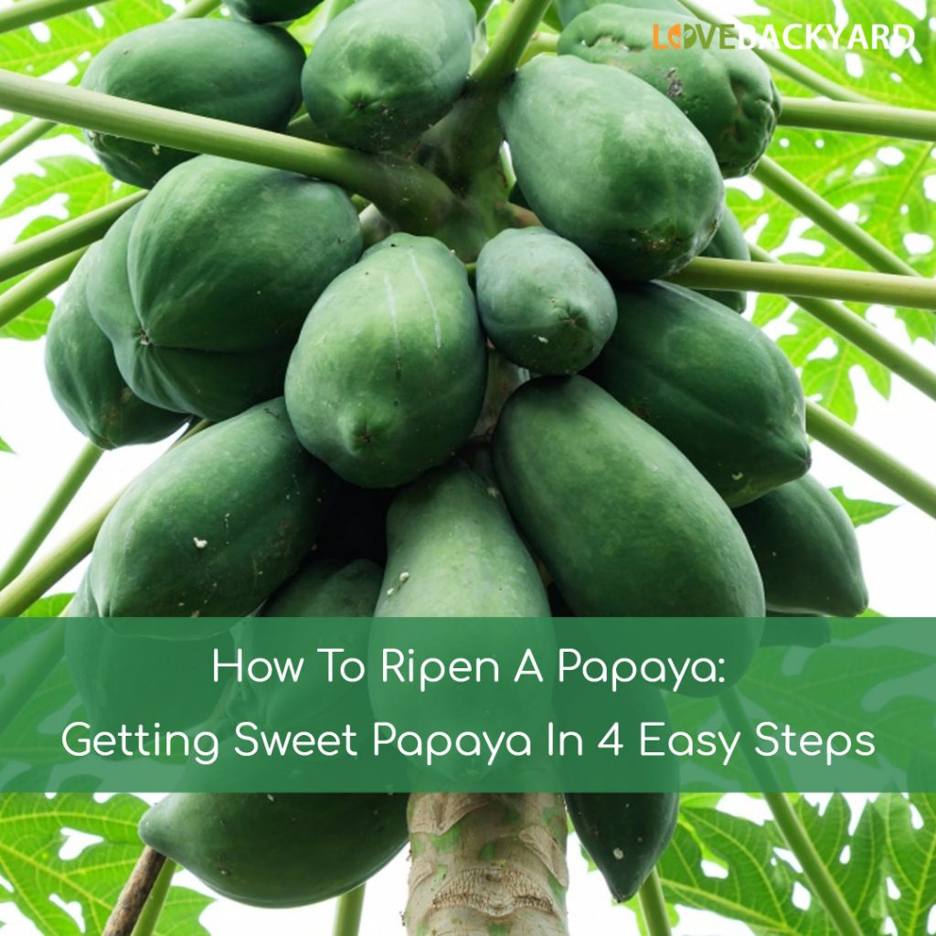 How To Ripen A Papaya