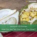Jackfruit VS Durian