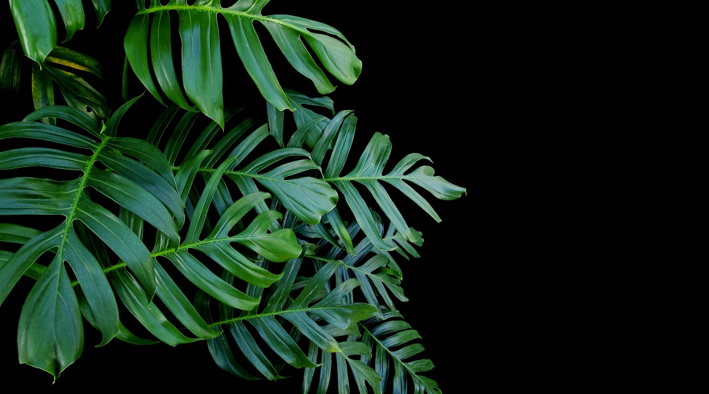 Philodendron in black background