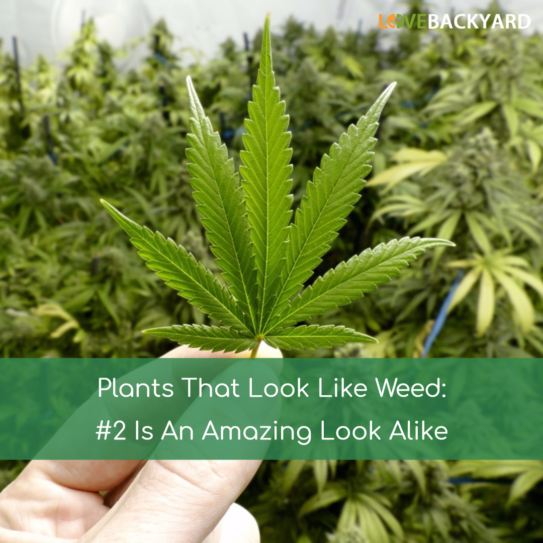 Plants That Look Like Weed 2 Is An Amazing Look Alike Aug 2018