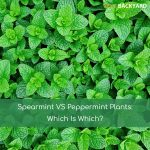 Spearmint VS Peppermint Plants