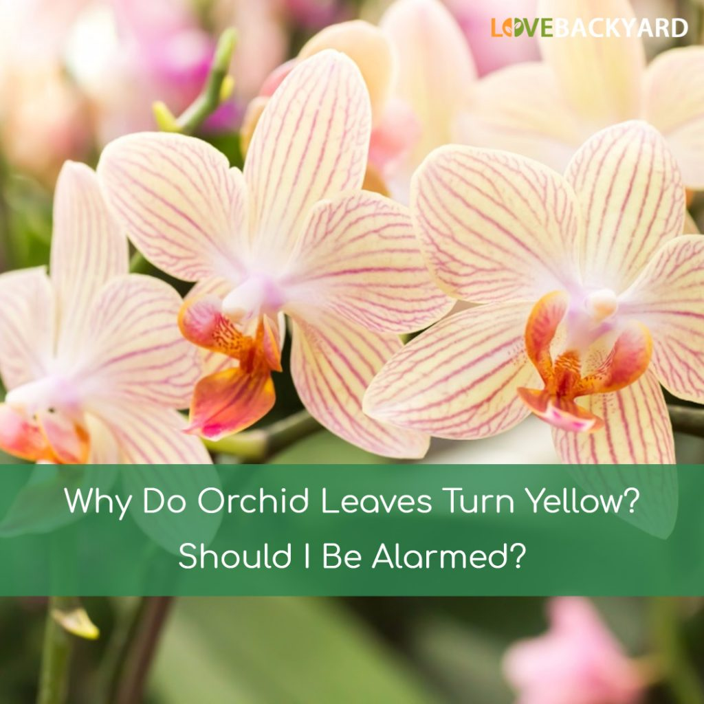 Why Do Orchid Leaves Turn Yellow