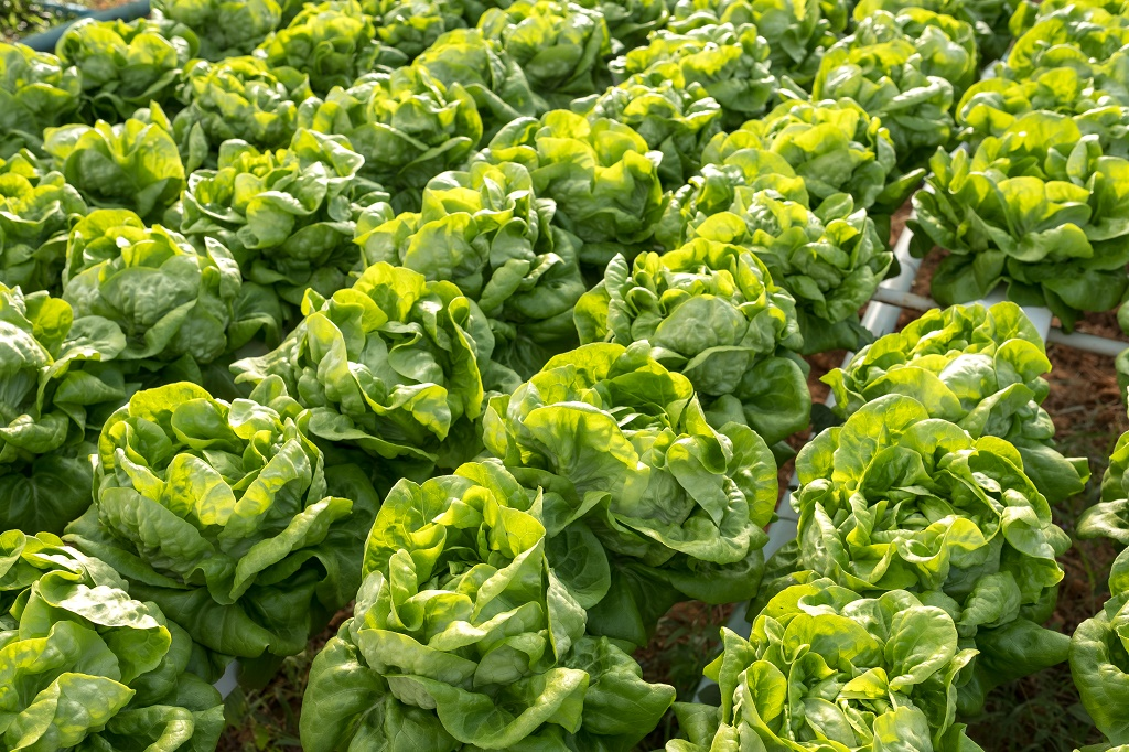 hydroponic cabbages