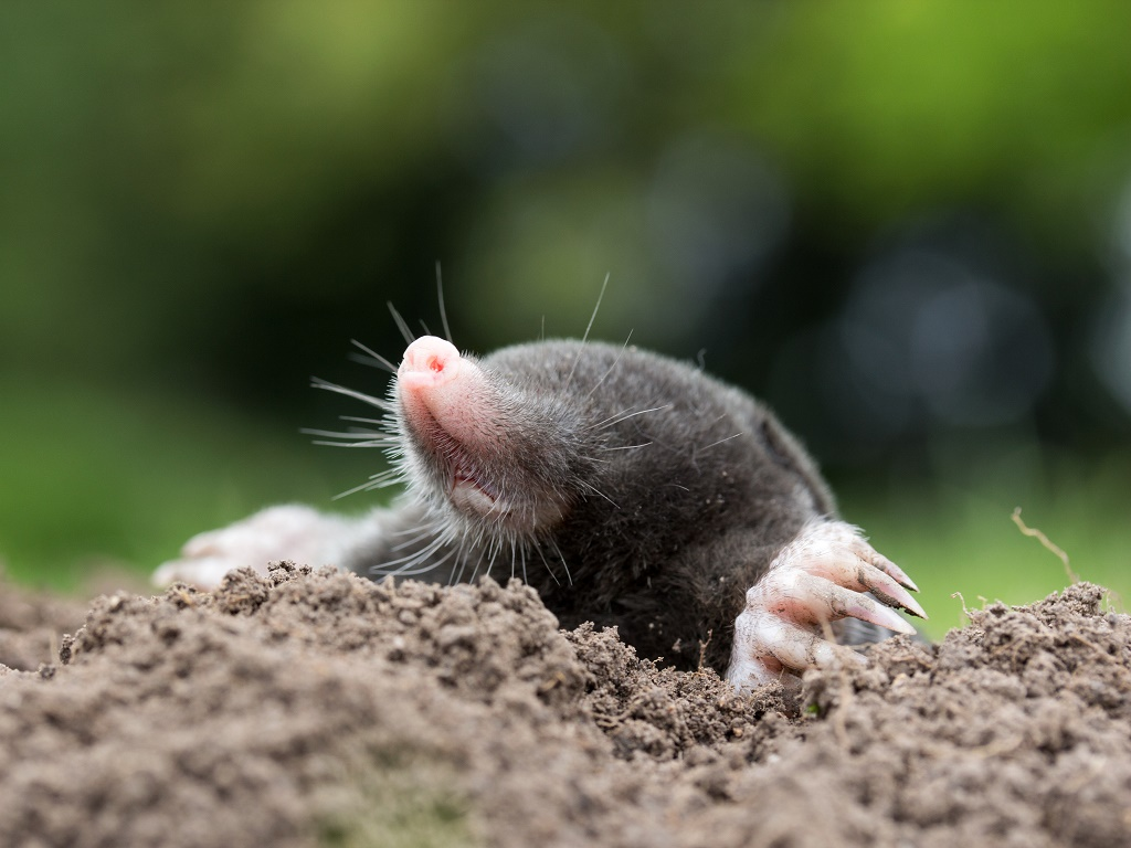 mole head out of soil
