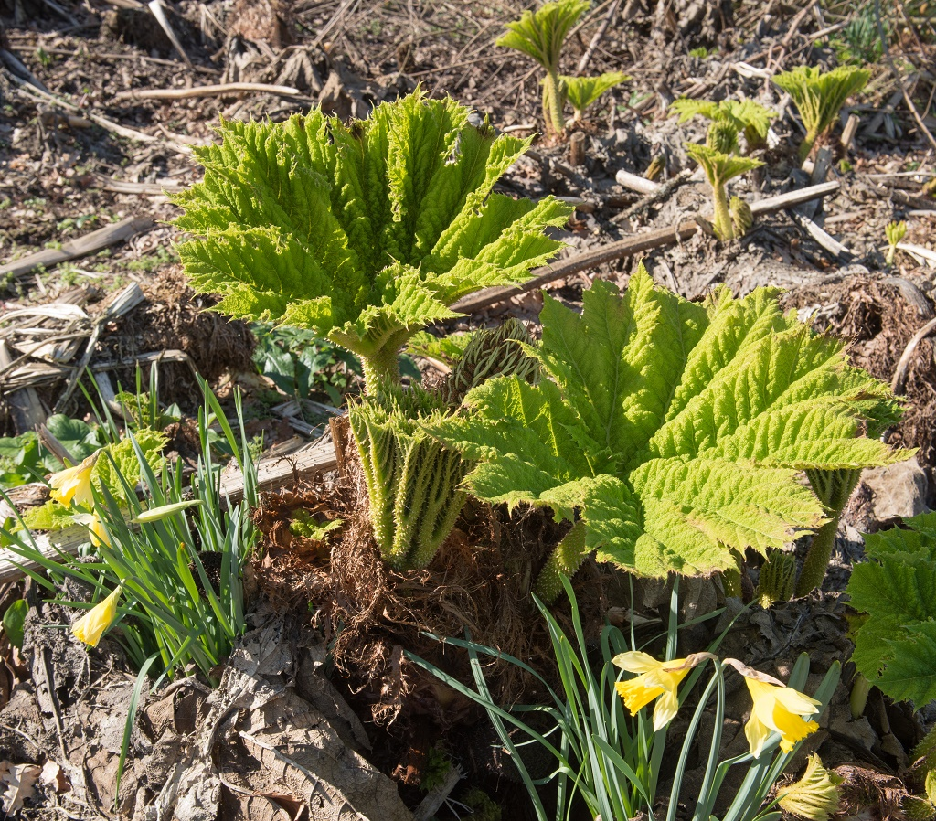 how to get rid of rhubarb weeds