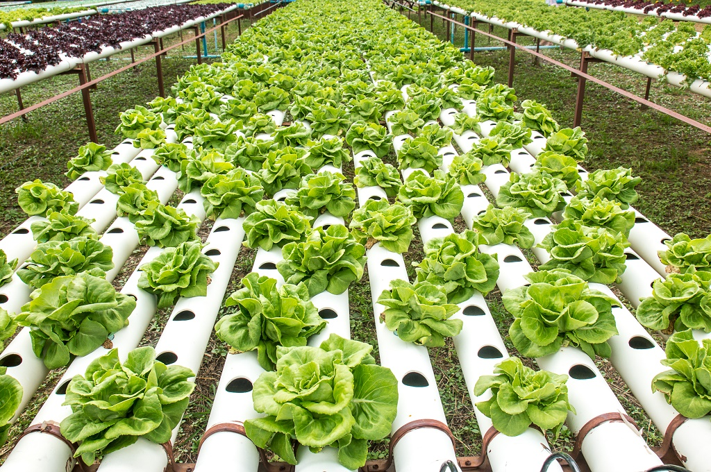 vegetables in hydroponic system