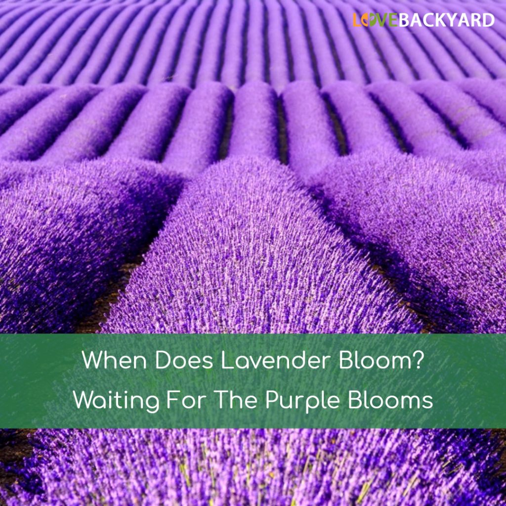 when does lavender bloom
