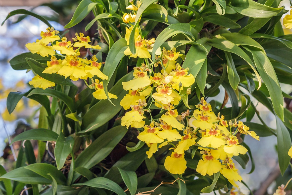 Why do orchid leaves turn yellow aug 2018 should i be alarmed yellow orchid mightylinksfo