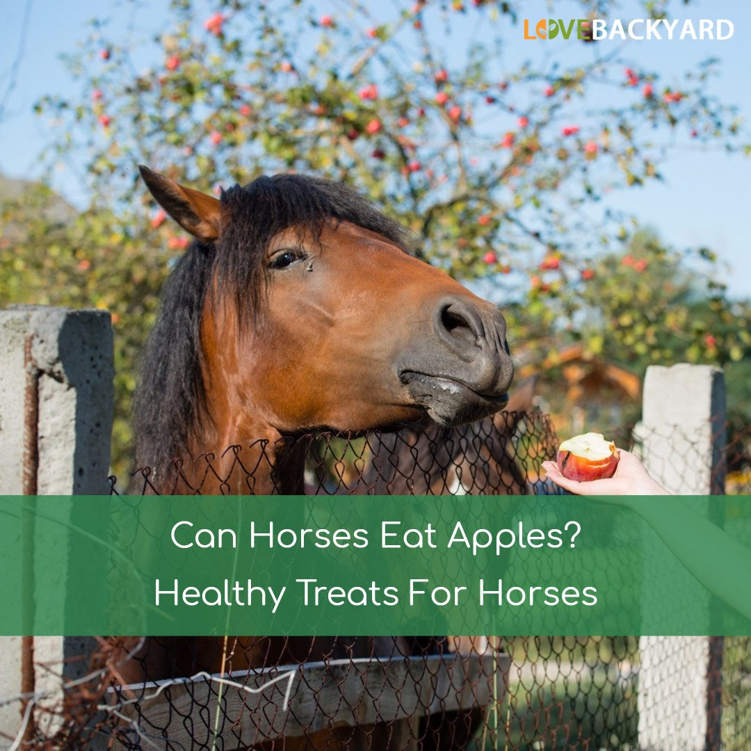 Can Horses Eat Apples