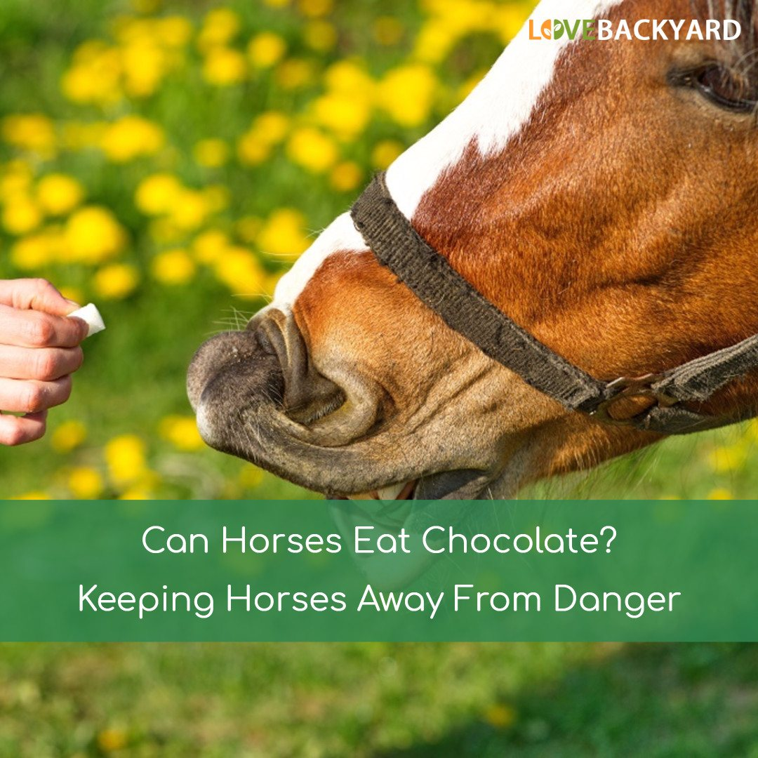 Can Horses Eat Chocolate