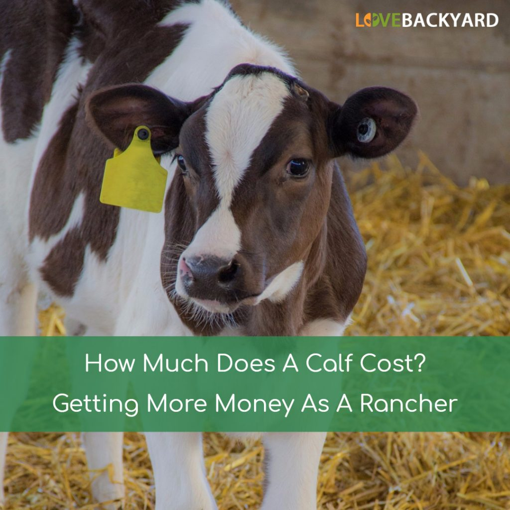 How Much Does A Calf Cost