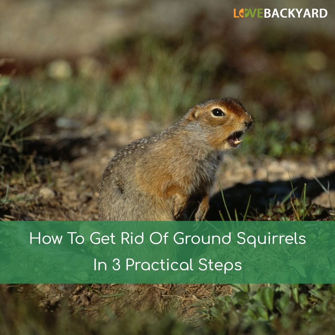 How to get rid of ground moles - How To Get Rid Of Ground Squirrels