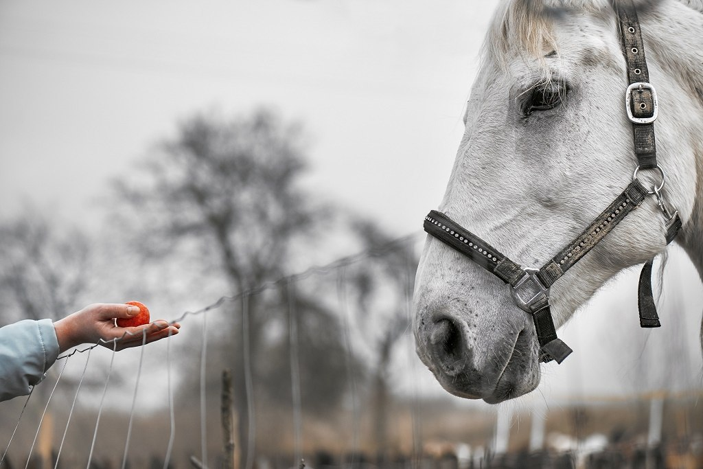 feeding horse with a red fruit