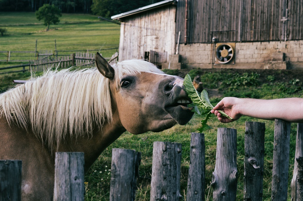 feeding horse with veggie leaf