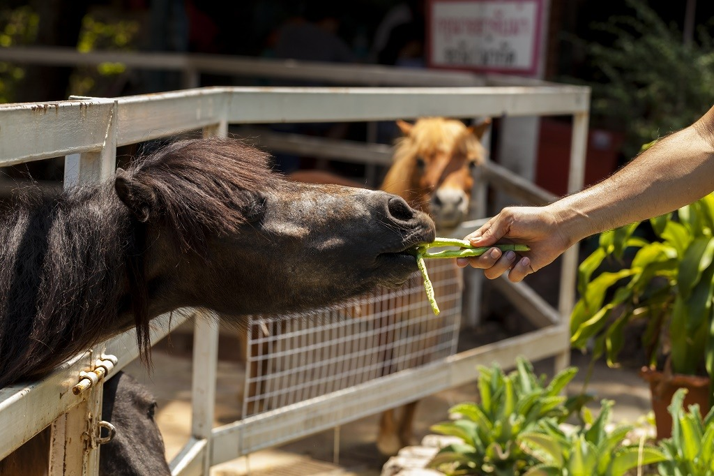 feeding horse with veggie