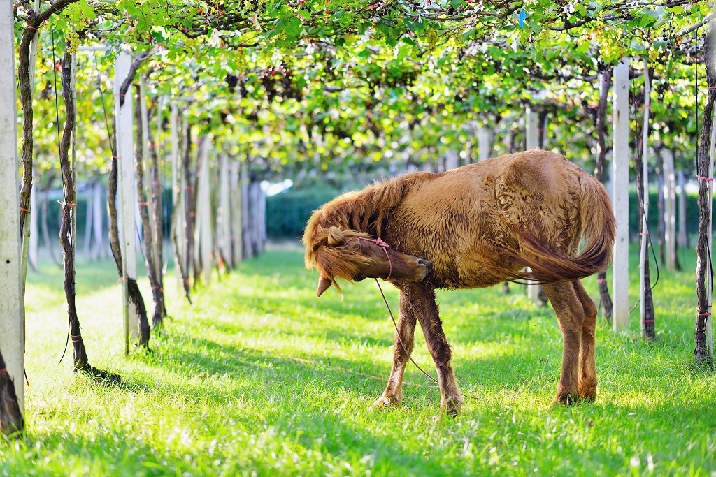 horse and grapes