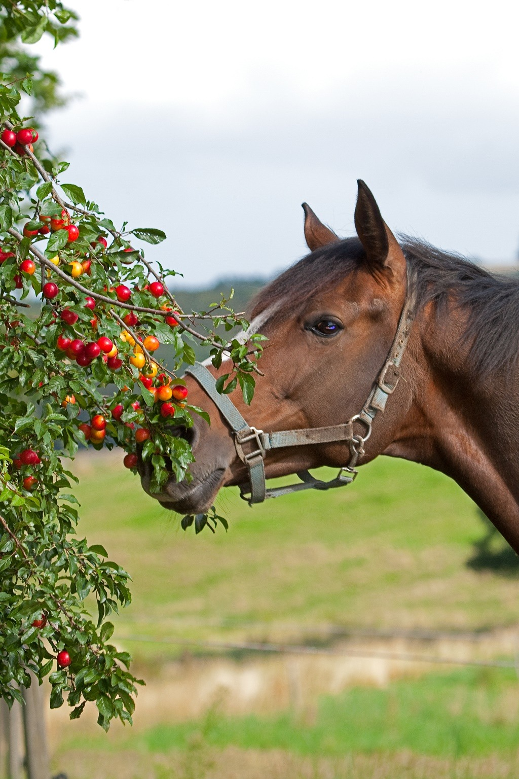 horse eating cherries