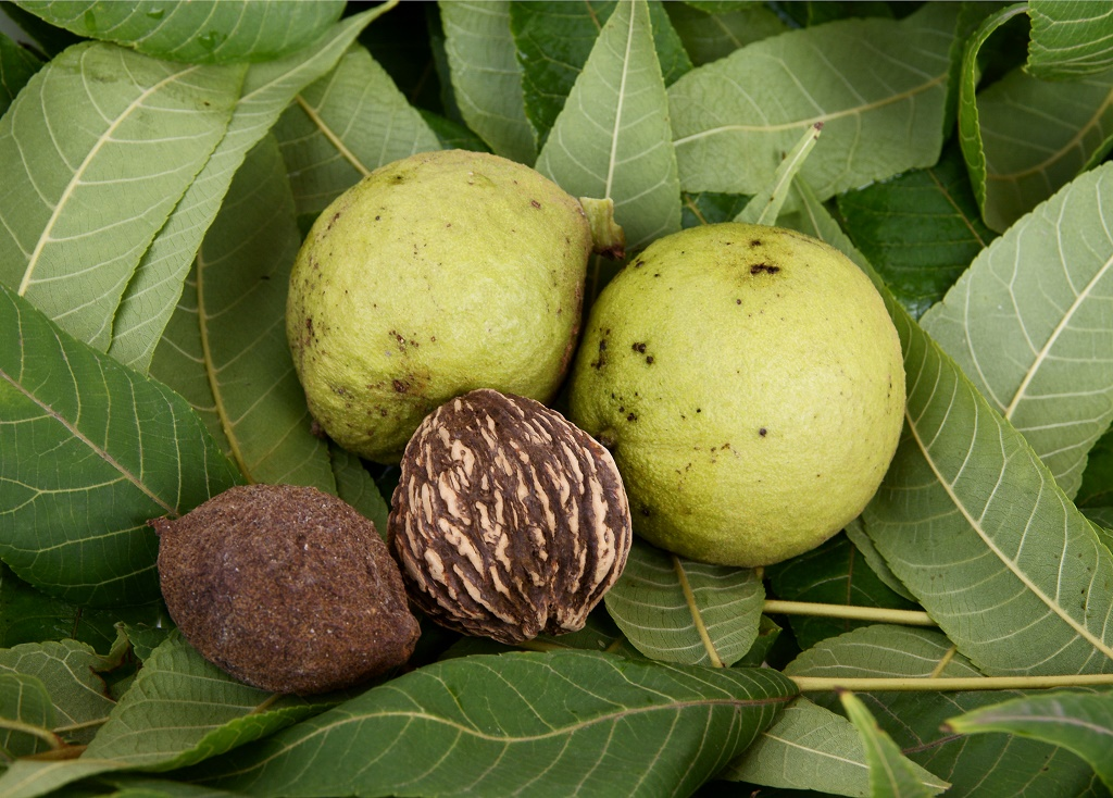How Much Is A Black Walnut Tree Worth? Discovering Its Value
