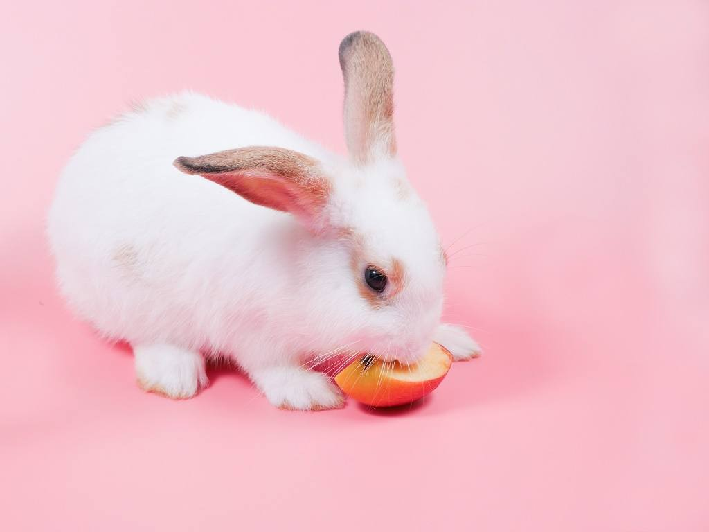 a rabbit eating apple