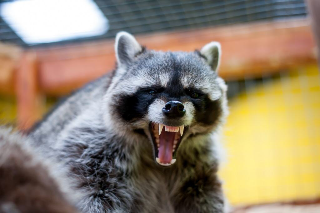 a raccoon opens its mouth