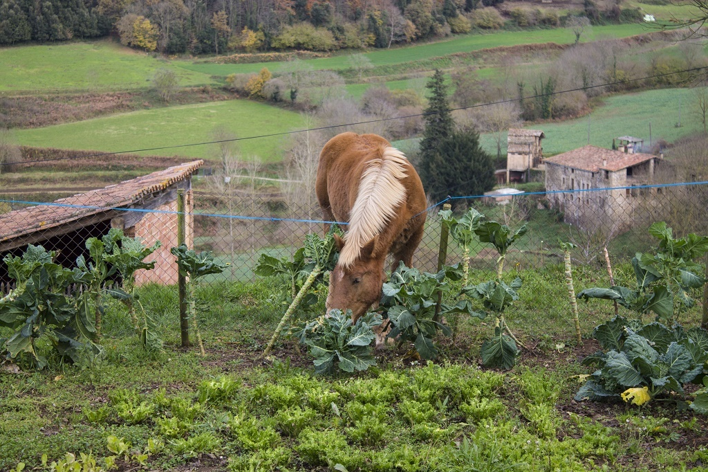 horse eating cabbage