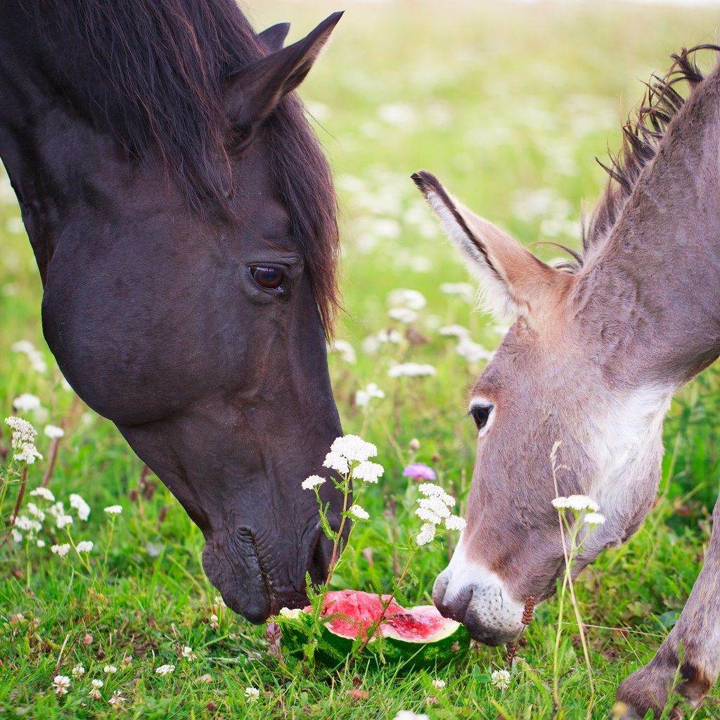 horses eating watermelon
