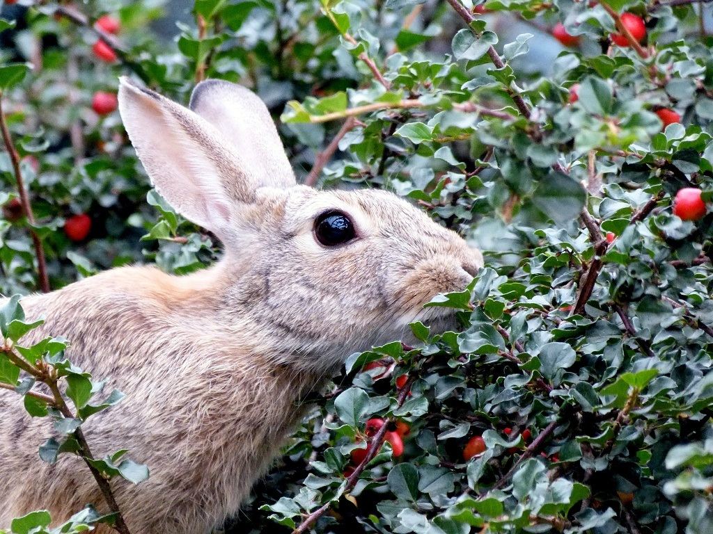 rabbit eating berries