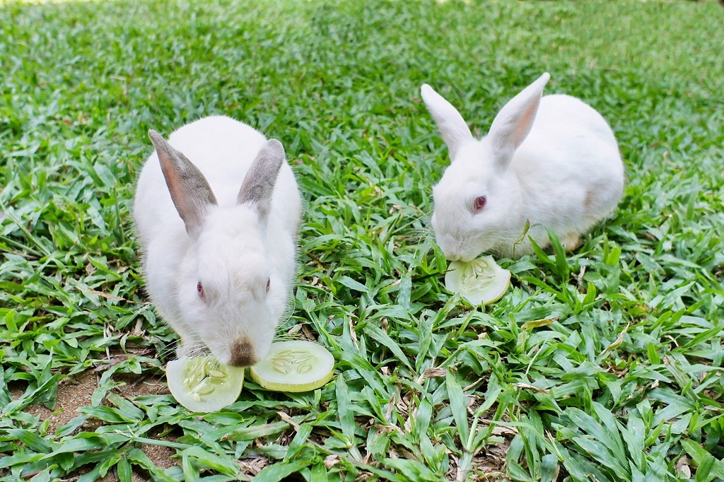 rabbits eating cucumber