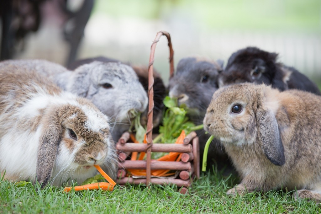 rabbits eating veggies
