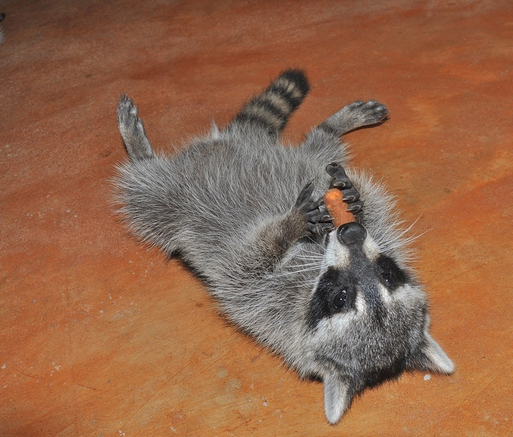 raccoon eating carrot