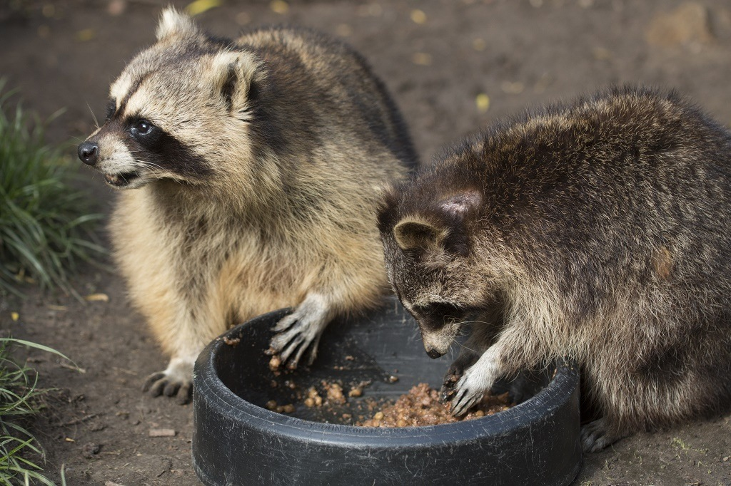 raccoons eating