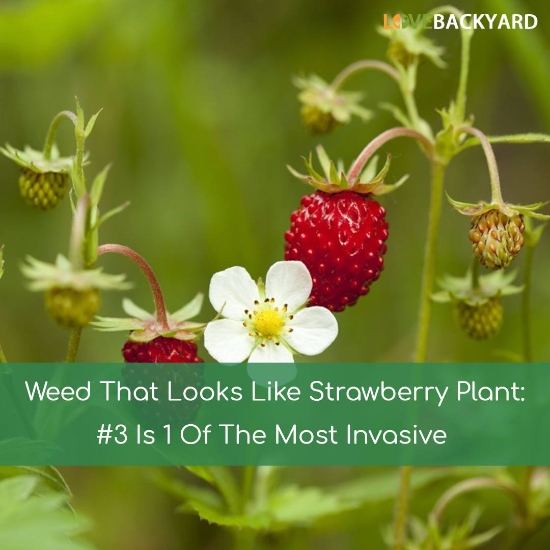 Weed That Looks Like Strawberry Plant 3 Is 1 Of The Most Invasive