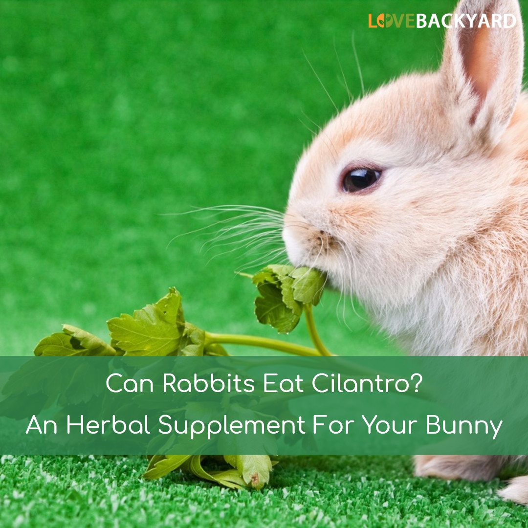 can rabbits eat cilantro an herbal supplement for your bunny