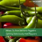 When To Pick Serrano Peppers