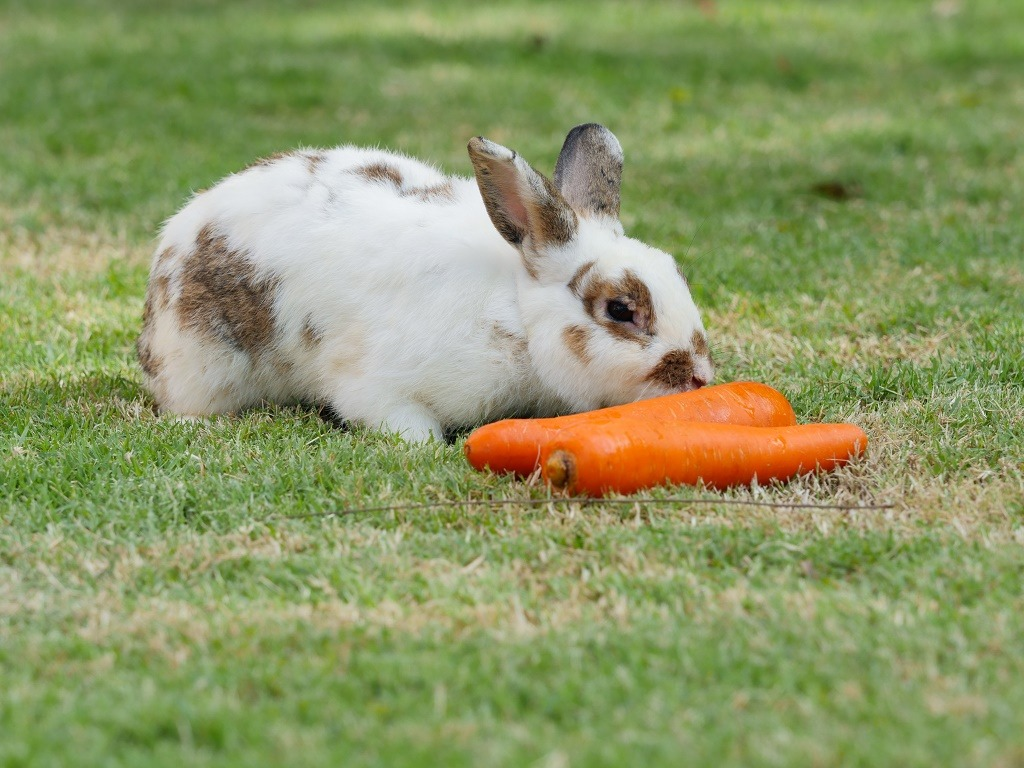 a rabbit eating carrots