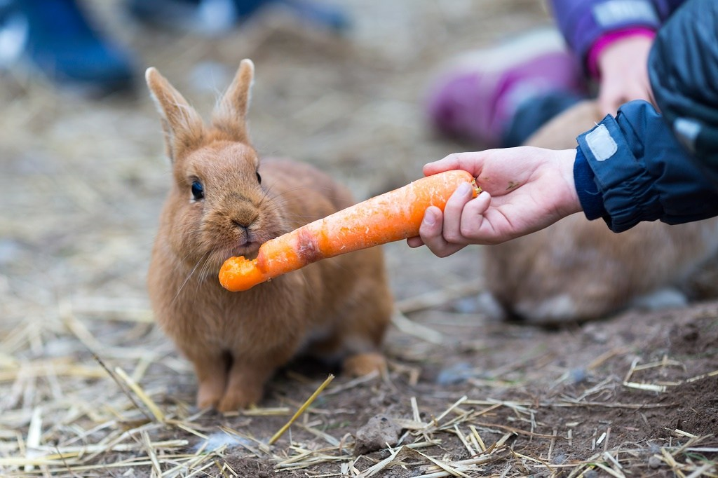 feeding a rabbit with a carrot