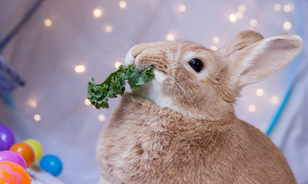rabbit chewing kale